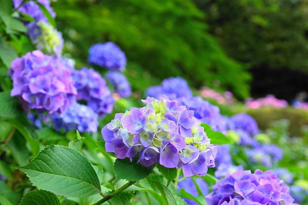 210530_03A_紫陽花咲く・RX10M3(多摩川台) (467)