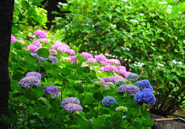 210530_03A_紫陽花咲く・RX10M3(多摩川台) (272)