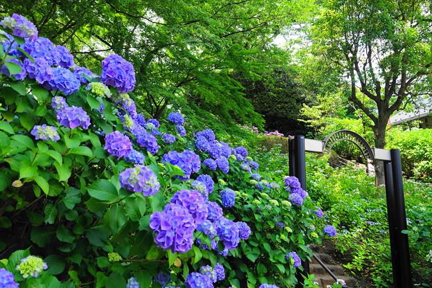 210530_03A_紫陽花咲く・RX10M3(多摩川台) (474)