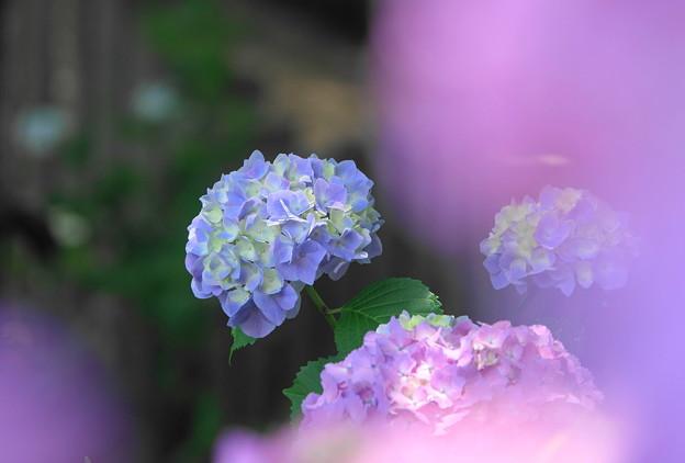 210601_07A_紫陽花・RX10M3(多摩川台) (31)