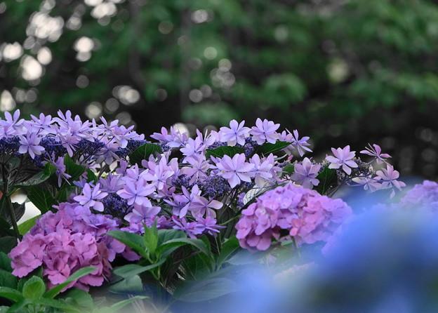 210607_07A_紫陽花・RX10M3(下丸子公園) (6)