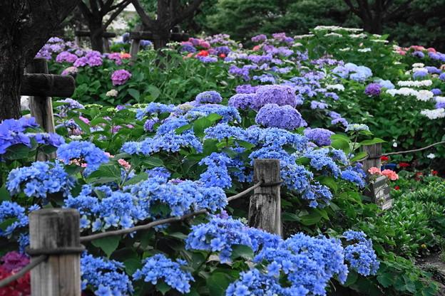 210607_07A_紫陽花・RX10M3(下丸子公園) (17)