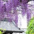 210415_32F_藤の花・RX10M3(泉澤寺) (50)