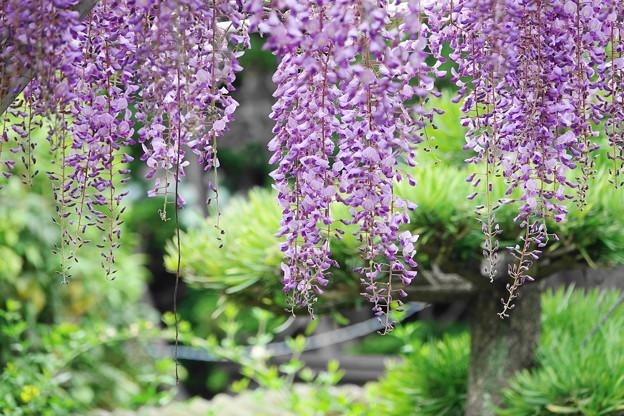210415_32F_藤の花・RX10M3(泉澤寺) (85)