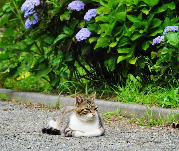 210529_02N_猫ちゃん・紫陽花の前で・RX10M3(近隣) (11)