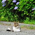 Photos: 210529_02N_猫ちゃん・紫陽花の前で・RX10M3(近隣) (11)