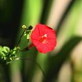 201026_05R_ルコウアサガオ・RX10M3(我が家の花壇) (3)