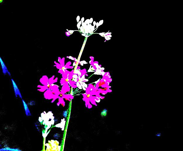 210125_22S_サクラ草・ポスタリ・RX10M3(我が家の花壇) (3)