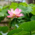 Photos: 210622_01H_蓮の花・RX10M3(府中郷土の森) (90)