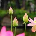 Photos: 210622_01H_蓮の花・RX10M3(府中郷土の森) (28)