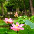 Photos: 210622_01H_蓮の花・RX10M3(府中郷土の森) (79)