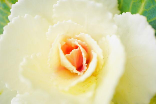 210108_35H_葉牡丹・Sm(我が家の花壇) (2)