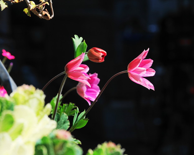 210225_02A_アネモネ・RX10M3(我が家の花壇) (94)