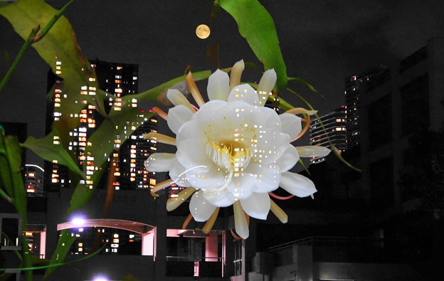Photos: 210724_55T・32_58G・44E_満月と月下美人・合成・RX10M3(近隣) (1)