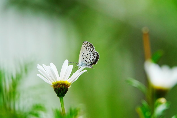 210618_01S_ヤマトシジミ蝶?とマーガレット・RX10M3(我が家の花壇) (1)