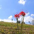 Photos: 190928_15H_彼岸花・RX100M4(多摩川) (1)