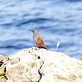 150921_野鳥_イソヒヨドリ♂です (22)