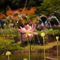 Photos: 170707_09_蓮・舞妃蓮・SL(府中・修正池) (1)