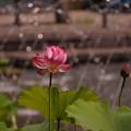 Photos: 170707_11_蓮・漁山紅蓮・SL(府中・修正池) (1)