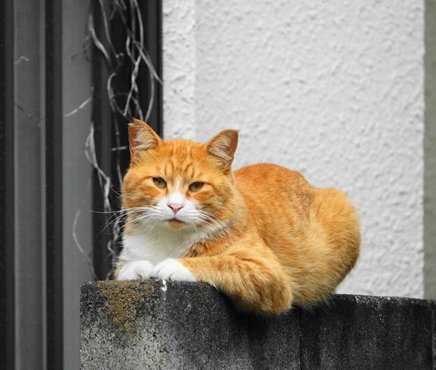 210821_02N_塀の猫・RX10M3(近隣) (3)