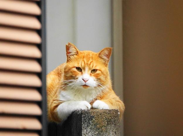 210821_02N_塀の猫・RX10M3(近隣) (1)