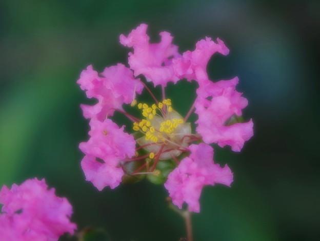 Photos: 200904_12S_百日紅・RX10M3(近隣) (5)