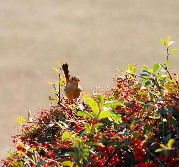 Photos: 180110_01_ジョウビタキ♂・ピラカンサの木で・S18200 (12)