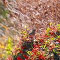 Photos: 180111_03_ジョウビタキ♀と赤い実・S18200 (31)