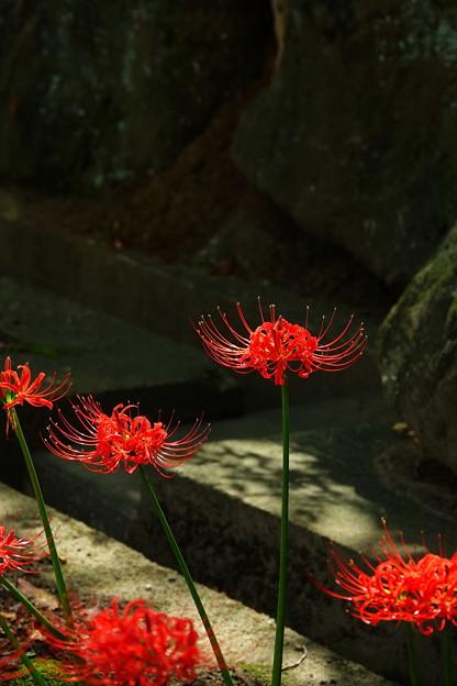 Photos: 210921_09H_彼岸花・RX10M3(西方寺) (2)