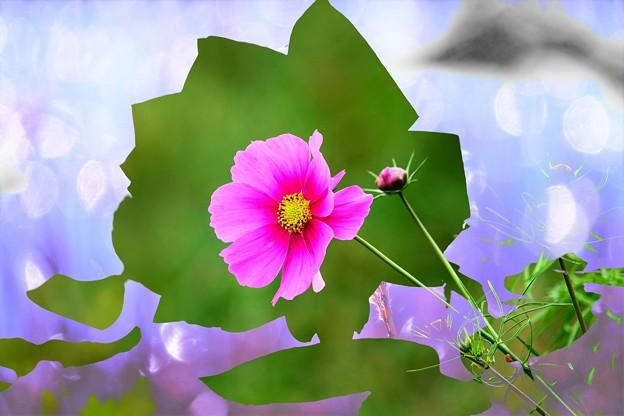 200921_48T_【合成】秋桜とバラのシルエット・RX10M3(嬬恋村牧場)