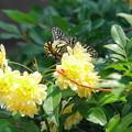 Photos: 200502_02C_ナミアゲハ蝶とモッコウ薔薇・RX10M3(我が家の花壇) (5)