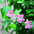 210727_03A_アサリナ・桃・RX10M3(我が家の花壇) (3)