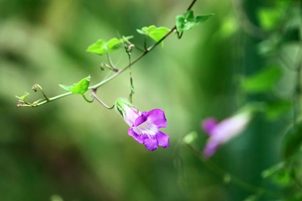 210730_02A_アサリナ・紫・RX10M3(我が家の花壇) (4)