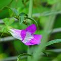 210917_12A_アサリナ・紫・RX10M3(我が家の花壇) (8)
