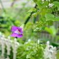 210917_43A_アサリナ・紫・RX100M4(我が家の花壇隣)