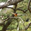 170222_13_ジョウビタキ♂(小石川植物園) (77)