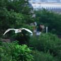 Photos: 200721_55K_コサギ・RX10M3 (4)