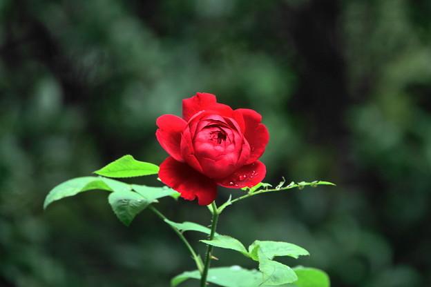 211019_06B_秋薔薇・LDブレスウエィト・RX10M3(近隣) (6)
