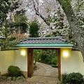 ビーフじゃない桜の鎌倉山