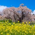 これが滝桜