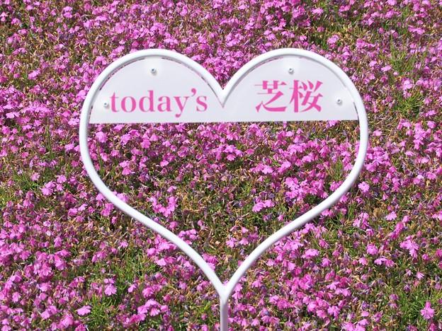 今日の芝桜