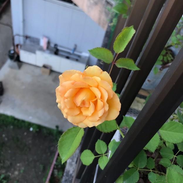 正規の花色