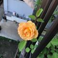 Photos: 正規の花色