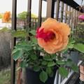 Photos: 変わり咲き