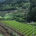 Photos: 茶の国