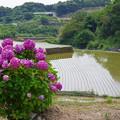 Photos: 紫陽花と棚田