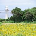 Photos: 灯台とヒマワリ