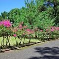 サルスベリ並木