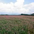赤い蕎麦畑