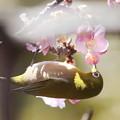 Photos: 210220-7メジロとカワヅザクラ